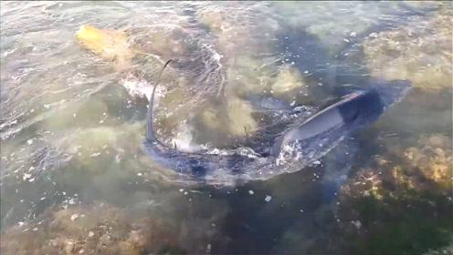 两米长的大鲨鱼游到岸边来了,这可真让人窒息!