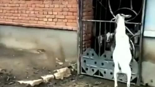 狗子和山羊对视了一会,下一秒山羊就发起挑衅,看狗子怎么收拾它