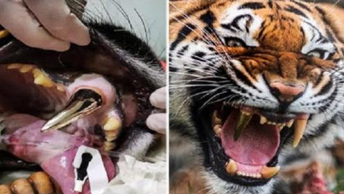 老虎的牙齿坏死,工作人员给它装上大金牙,真是太霸气了