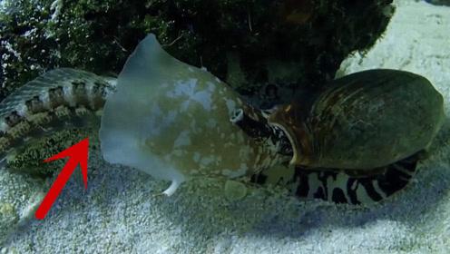 小鱼钻进海螺嘴里找吃的,结果乖乖成为海螺的美餐,这种捕食方法太高明了!