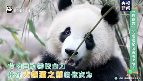 """大熊猫""""食铁兽""""的名号是浪得虚名吗?"""