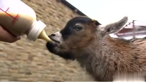 国外大叔突发奇想养了一只小羊陪伴自己的孩子长大,朋友都说他另类