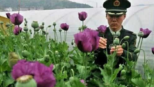 中国唯一能合法长罂粟的地方,武警真枪实弹,24小时一直看守!
