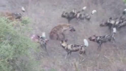 两只鬣狗闯进猎狗群抢人家猎物,有勇气无能力,结果被猎狗群掏肛
