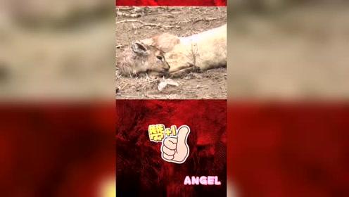 小羊母亲被豹子捕食,狮子帮小羊报仇!太搞笑啦