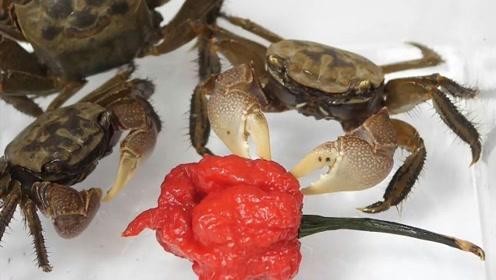 """传说中的""""死神辣椒""""到底有多辣?螃蟹尝了一口,味道绝了!"""