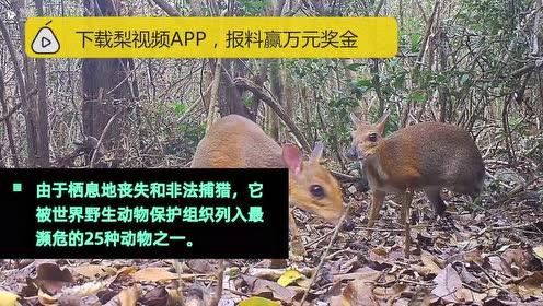 """消失30年的银背鼷鹿重现越南,科学家本以为其已经""""灭绝"""""""