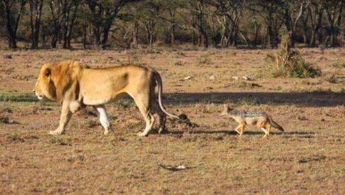 雄狮正在休息,胡狼竟然上前咬一口就跑,下一秒真刺激