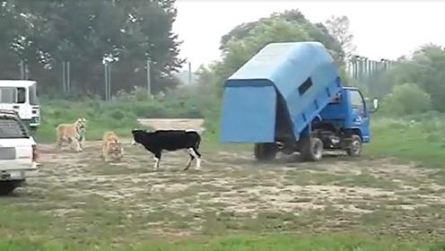 一头活牛喂食10只东北虎,打开车门的那一刻,场面十分激烈