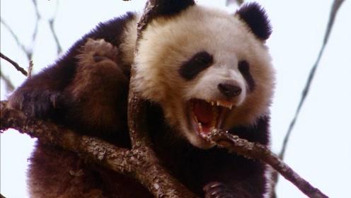 谁说熊猫天生好脾气?看完这个视频,三观都要改观了