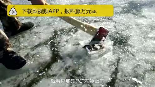 极寒!小鸟被冰封江面,男子凿开冰面咬掉碎冰将其放飞