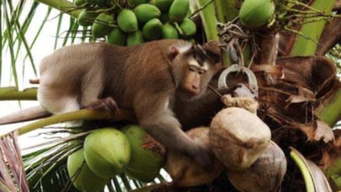 """会摘椰子的猴子,每天摘1000个椰子,果农根据产量给猴子""""报酬"""""""