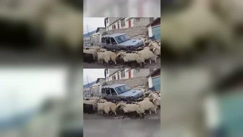 司机和羊都不明白,自己为什么会陷入怪圈...