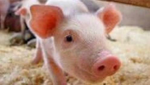 132.6万吨!中国猪肉进口力度加大,北美供应大涨27倍,肉价或回落?
