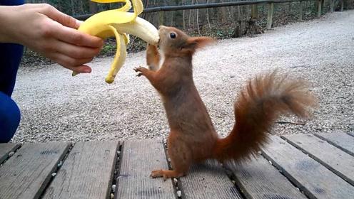 第一次吃香蕉的松鼠,像发现了新大陆一样,画面让人忍不住想笑!