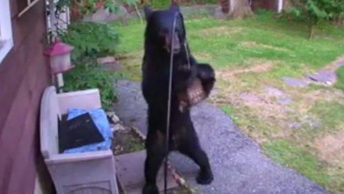 一头黑熊入院偷吃鸟食,不料家有恶犬,接下来请憋住别笑