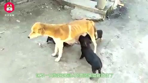 狗妈喂奶一直嚎叫,主人开始还挺纳闷,跑过去一看却乐开花了