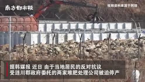 韩国为遏制猪瘟宰猪,4.7万头死猪堆积腐烂,渗出脏水污染水源