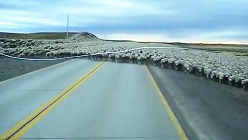 上万只绵羊在过马路,一辆小货车直线冲了过来,镜头记录全过程