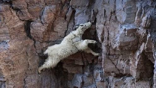 狐狸在峭壁上追小羊,下一秒狐狸蒙圈了,这货真能跑!