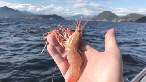极品海鲜牡丹虾,捕上来先剥壳生吃一只!