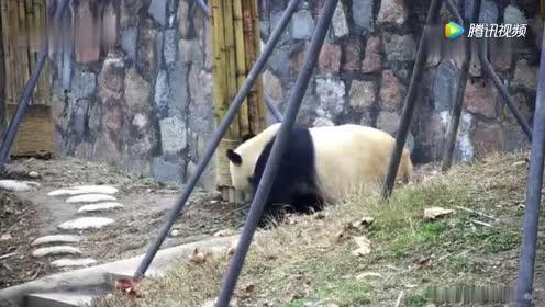 大熊猫妈妈:走开走开!别挡着!然后一手推开宝宝!一脸懵!
