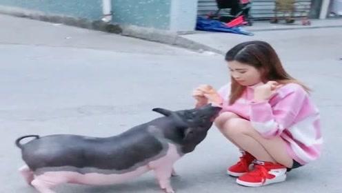 猪肉涨价了,美女特意养了一头猪,喂胖了过年好吃肉!
