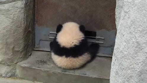 熊猫躲在门后想吓唬一下饲养员,不料门突然开了,下一秒憋住别笑