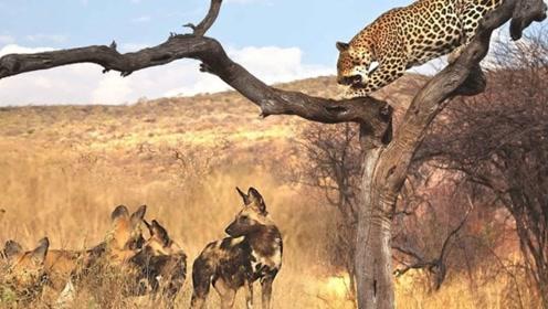 母豹子刚刚捕猎到一只小羚羊,就引来了野狗的围攻,野狗怕是饿疯了