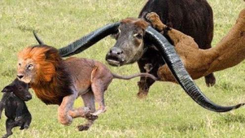 以命相搏,彪悍野牛大战3头雄狮,镜头记录下精彩时刻!