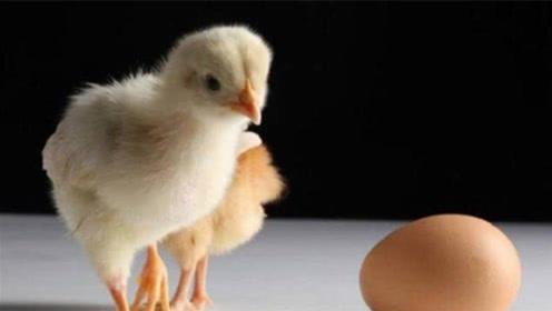 世界第一未解之谜,先有鸡还是先有蛋?网友:我不是最后一个知道的!