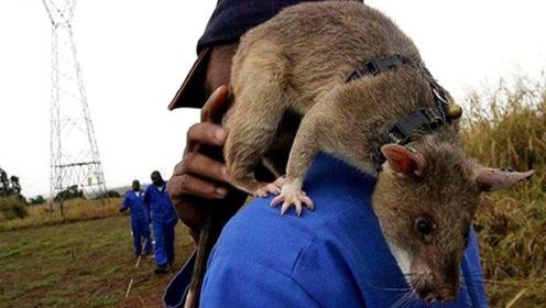 一只老鼠顶100人,每年救上万条人命,被当地人赞为大英雄!