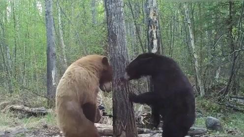 两头熊在森林中打架,看到它们的打架方式,网友:怕是来搞笑的
