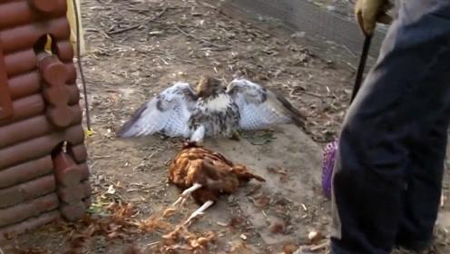 老鹰偷捕公鸡,不料被公鸡缠住无法动弹,,主人赶来高兴坏了