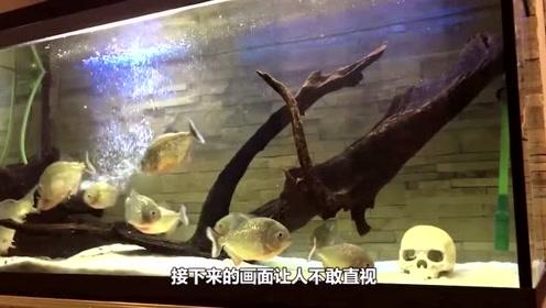 把鲤鱼放进食人鱼群里后,食人鱼先是愣了两秒,接下来就开始疯狂了