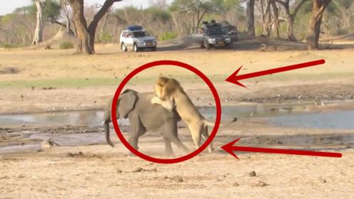 大象落单被狮子尾随,本以为不是对手,意外发生了