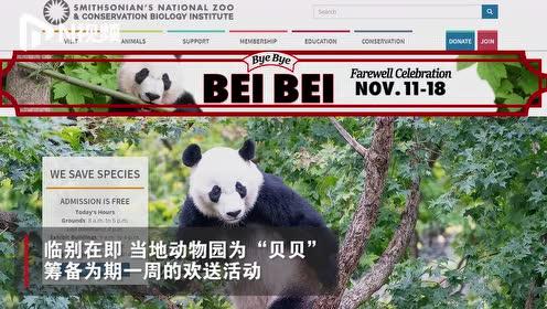 """旅美熊猫""""贝贝""""明日回国,动物园:手势交流,不担心语言障碍"""