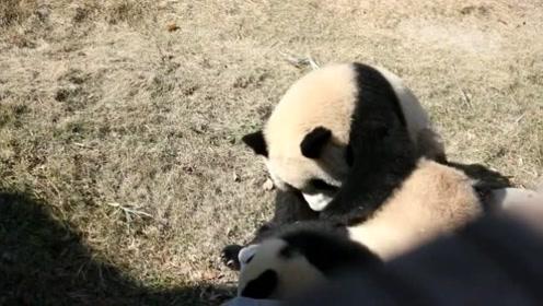 """熊猫宝宝一闲着就欺负妹妹,有这么""""尊老爱幼""""的吗?"""