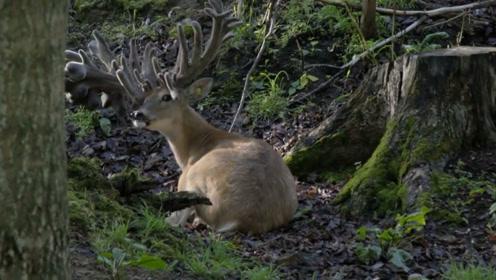 4年时间头上长满角,鹿都快被压垮了,男子果断把角给割掉