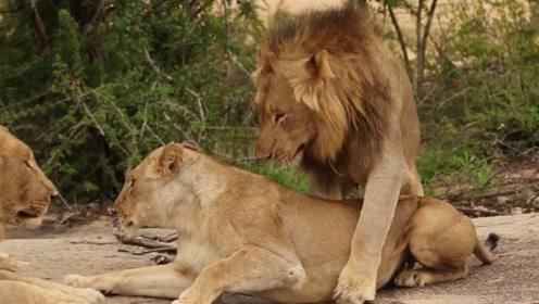 母狮交配后必须时刻和雄狮在一起,这点原因你知道吗?