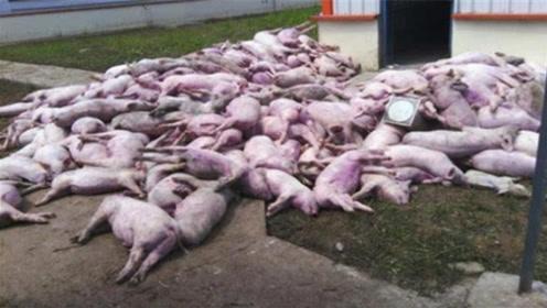 分明在中国农村养猪,为何会被染上非洲猪瘟呢?看完吓一跳