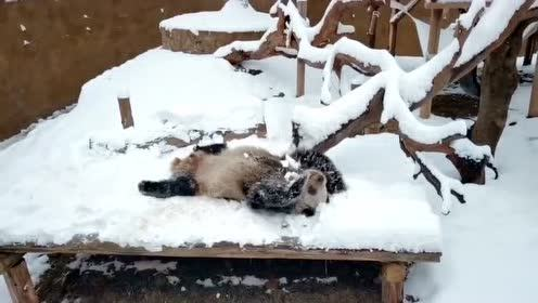 当四川熊猫初次见到沈阳大雪,堪比第一次看见雪的南方人了!