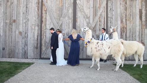 """日本一酒店推出萌式婚礼 用羊驼当""""证婚人""""你见过吗"""