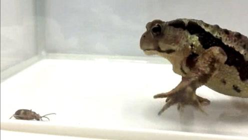 蛤蟆吃了打屁虫,生物炸弹反应过来后在肚子里爆炸,恶心得都吐了