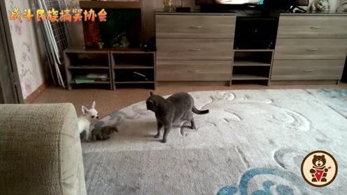 吉娃娃第一次看见这么大的猫,吓得一动不敢动,网友:太丢人