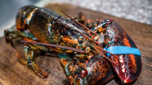 世界最大龙虾重40斤 能活到100岁 还有让人吃惊的大钳子