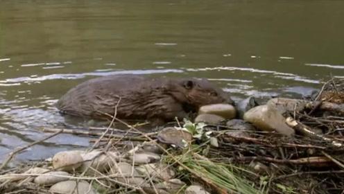 神奇的大自然,河狸花费一个月造桥,质量堪比国际工程师