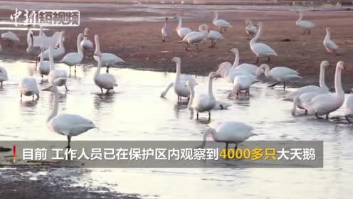 山东荣成迎最佳大天鹅观赏季