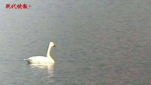 赤山湖来了15只小天鹅,几年来最多的一次