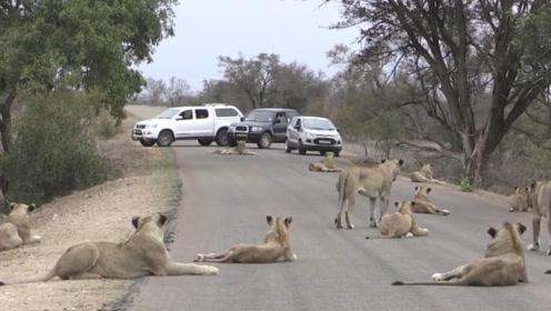 狮群卧在马路中间,过往车辆没一个敢动,狮子的霸气可不是吹的